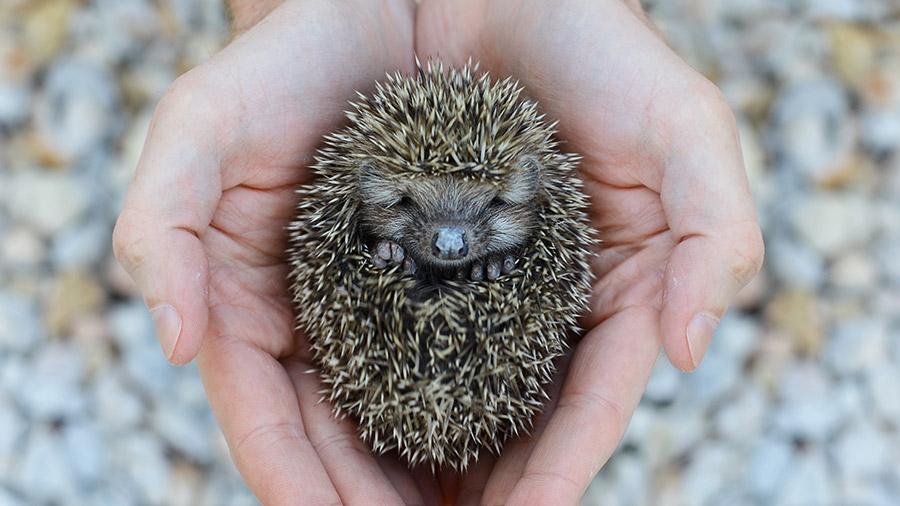0906_hedgehog_porco_espinho