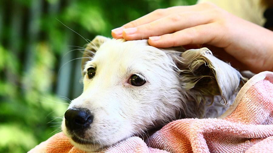 cachorro_sarna
