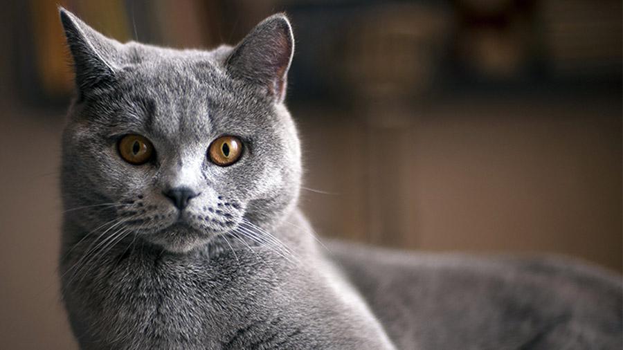 pelo_curto_britanico_gato