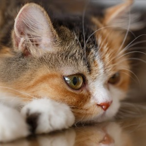 gato_persa_g2