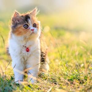 gato_persa_g6