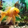 peixe_nado_irregular