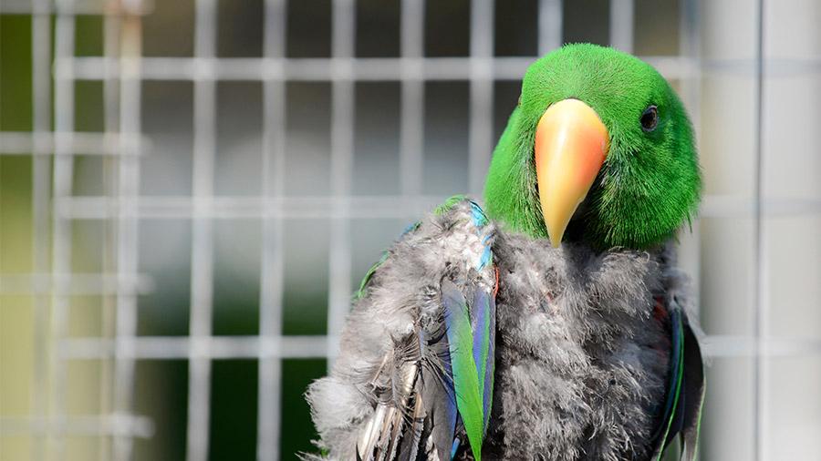 aves_pescoco_depenado