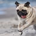 cachorro_pug