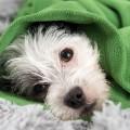 febre_cachorro