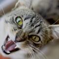 gato_agressivo