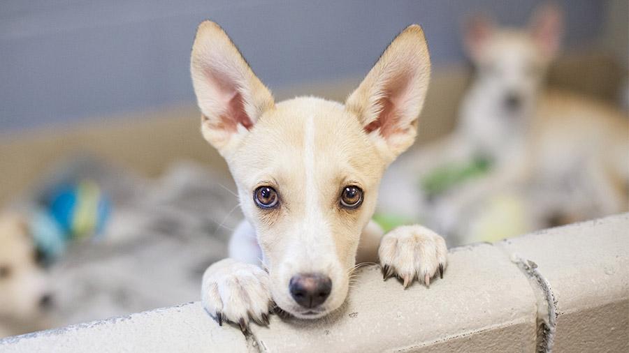 adotar_cachorro