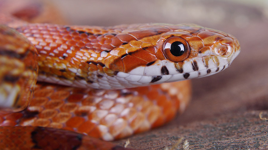 Conheça a Corn Snake e aprenda a cuidar desta linda serpente