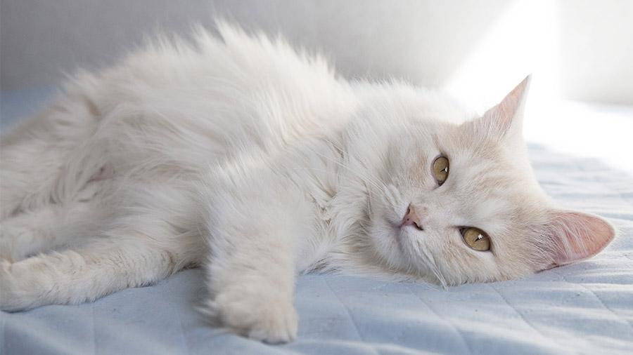gato_angora_turco