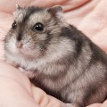 hamster_chines