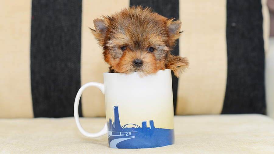 cachorro_micro