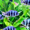 peixe_doenca_nadadeira