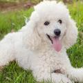 poodle_cachorro