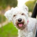 viajar_com_cachorro