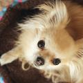 cachorro_raca_chiuauaua