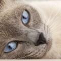 gato_siames_personalidade