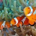 peixe-palhaco-nemo