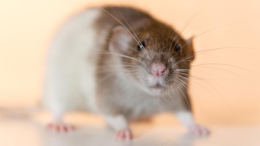 Twister: o seu ratinho de estimação