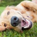 displasia_quadril_cachorro