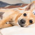 cachorro_dormir_cama_dono