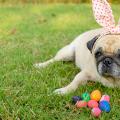 cachorro_chocolate_intoxicacao