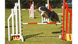 agility energia border colie cachorro