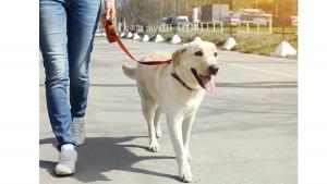 passeio labrador cachorro
