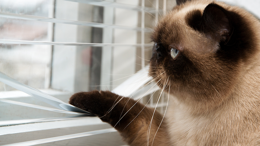 gato siames janela