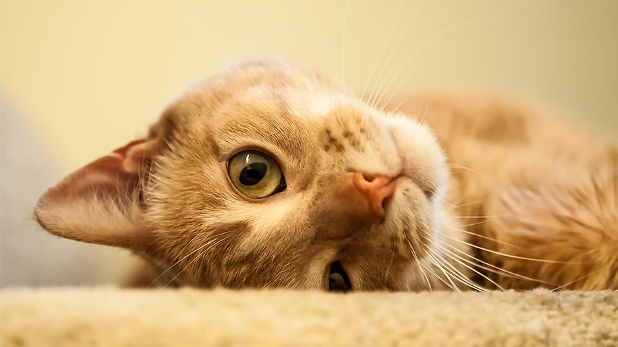 gato_hormonio