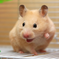 hamster roedor comportamento