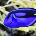 peixe palette dory