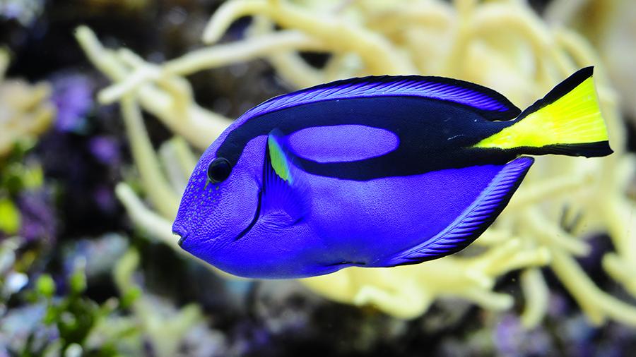 Cirurgião – patela: o lindo peixe azul royal