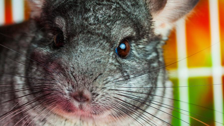 Chinchila roedor