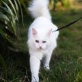 gato passeando grande