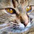 gato peludo diabetes