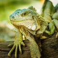 iguana réptil