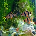peixes aquário