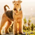 ariredale terrier cachorro raça