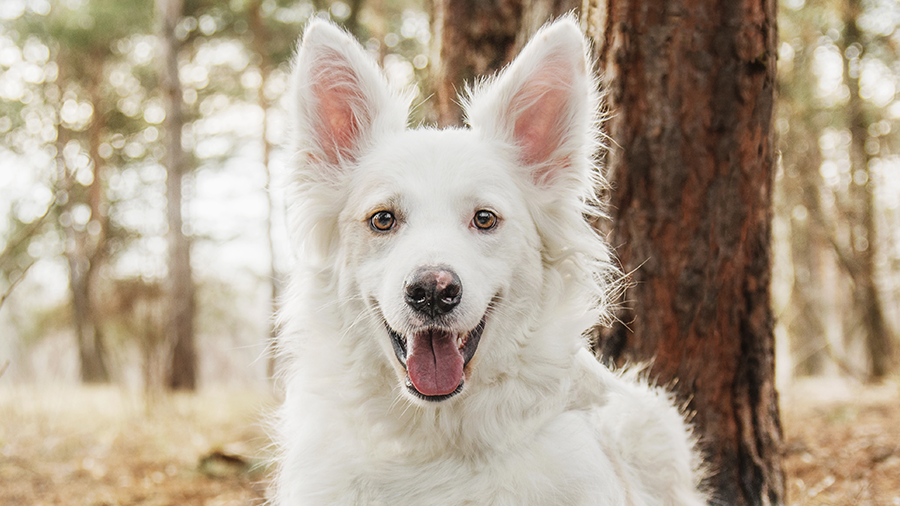 cachorro albino branco
