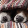 focinhos no cobertor