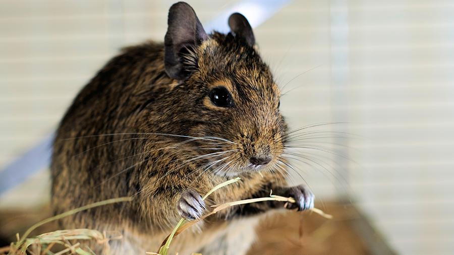 Degu, o sociável e curioso rato dos Andes
