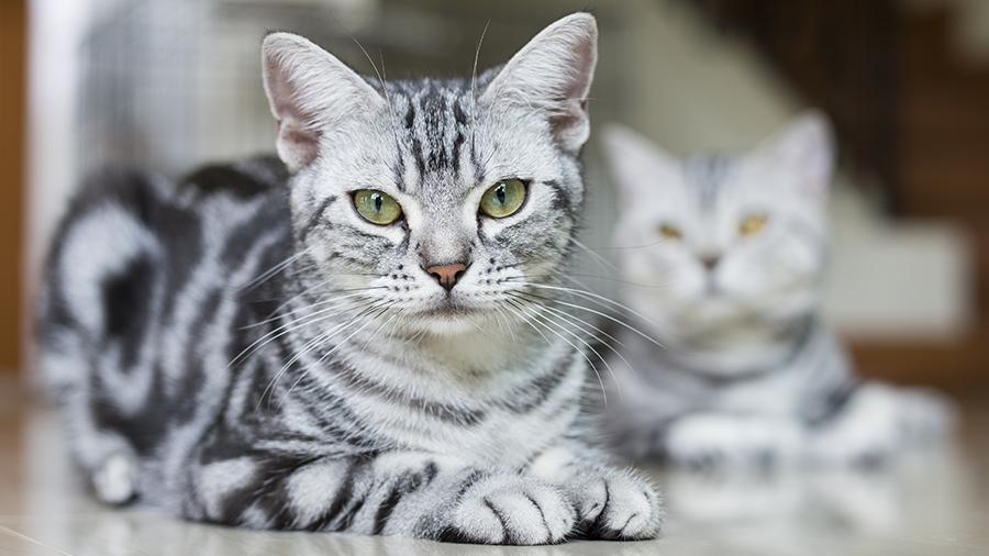 american shorthair gato