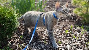 gato passeando de coleira