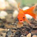 peixe doente