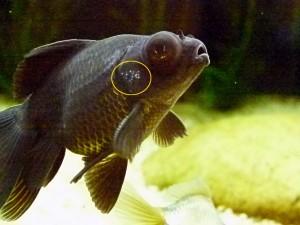 peixe doente com ictio