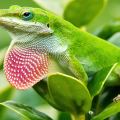 anolis verde