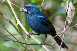 azulão da amazonia