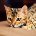 bengal gato