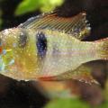 peixe com íctio