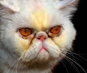 epifora gato